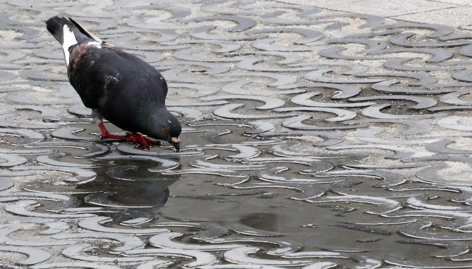 무더위가 계속되던 지난달 6일 서울 종로구 세종대로 세종문화회관 인근에서 비둘기 한마리가 고인 물을 마시고 있다. 도시 비둘기는 사람과 같은 공기를 마시며 살아가기 때문에 오염 지표 역할을 한다. [연합뉴스]