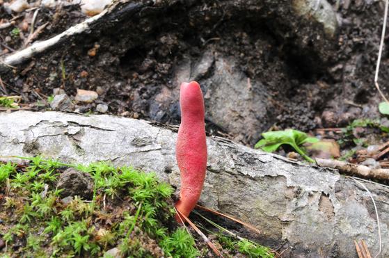 맹독 버섯인 붉은사슴뿔버섯 [사진 국립공원관리공단]