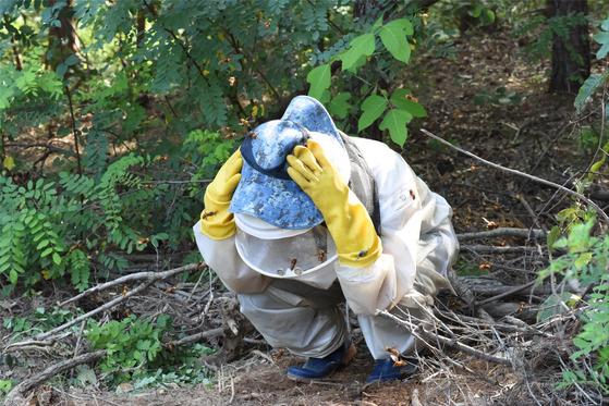 사람을 공격하는 장수말벌. 말벌집을 건드렸을 때는 바로 20m 이상 벗어나는 것이 좋다. [중앙포토]