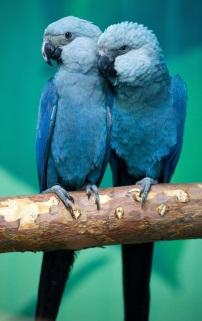 브라질의 파랑새…스픽스 마코 앵무새 멸종