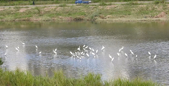 지난 7일 오후 경기도 동두천시 신천. 백로가 무리지어 얕은 물에서 먹이홛동 중이다. [사진 연천동두천닷컴]