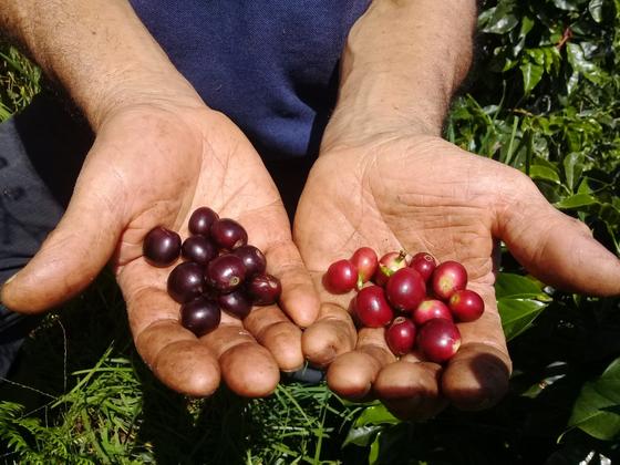 늦수확한 커피 체리(왼쪽)와 정상 시기에 수확한 커피체리를 비교해 보여주고 있는 콜롬비아의 커피 장인. [사진 네스프레소]