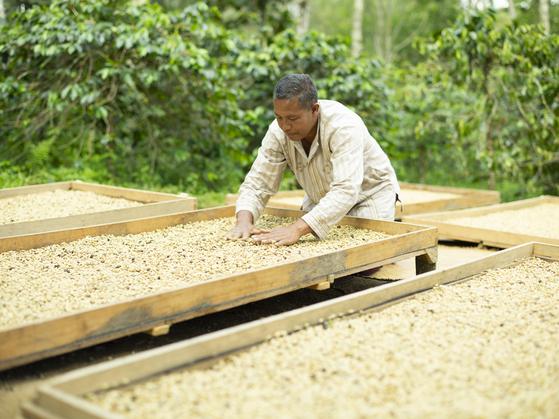 환경이 저마다 다른 산지의 특성에 맞춰 수확하고 가공해 원두가 지닌 맛으 최대한 끌어낸 커피가 유행이다. 사진은 다습한 인도네시아 기후 특성에 맞춰 건조 시간을 줄인 습식 탈곡으로 생두를 가공하고 있는 커피 장인. [사진 네스프레소]