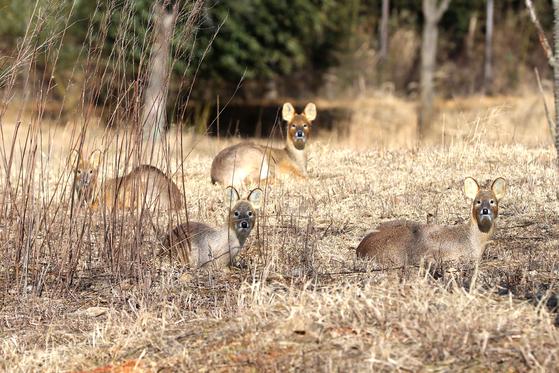 시골 길에서 흔히 볼 수 있는 고라니. 밭을 헤집어 놔서 시골의 천덕꾸러기로 불리지만 사실 고라니도 멸종위기종이다. 늑대가 멸종하고 천적이 사라진 고라니가 개체수가 늘은 듯 하지만, 로드킬로 인해 엄청난 수가 죽어가고 있다. [중앙포토]