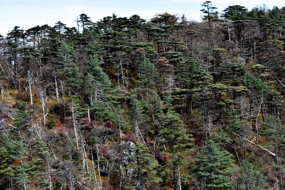 기후변화의 영향으로 고사 피해를 입은 지리산 구상나무. [사진 국립공원관리공단]