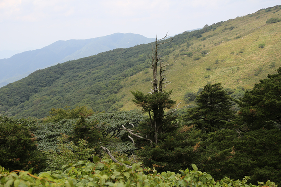 소백산 주목군락에 고사한 주목 한 그루가 서 있다. 주변으로는 시들어서 갈색으로 변한 잎들이 보인다. [사진 국립공원관리공단]