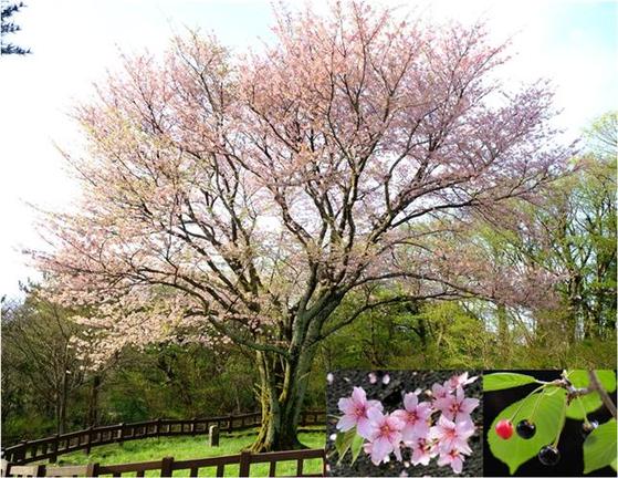 제주도 제주시 봉개동의 자생 왕벚나무. 천연기념물 159호로 지정돼 있다. [사진 국립수목원]