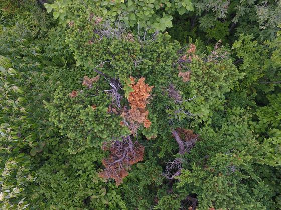 소백산 주목군락에 고사된 나무들을 드론으로 촬영한 모습. [사진 국립공원관리공단]