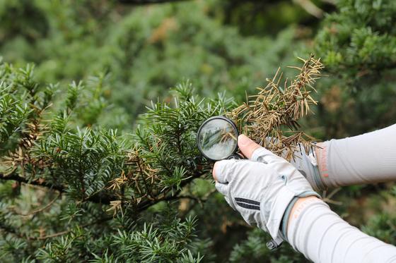 안철희 현대나무병원 대표가 소백산 주목군락에서 갈색으로 변한 나뭇잎들을 조사하고 있다. [사진 국립공원관리공단]