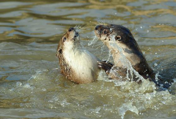 국제 멸종위기종이자 천연기념물인 수달. 금강에 녹조가 절정에 이르고 오염된 강물에서 먹을 것이라곤 폐사한 물고기 뿐인 수달이 먹이를 찾아 오리 농가까지 내려오는 등 수달의 생명이 위협받고 있다. [중앙포토]
