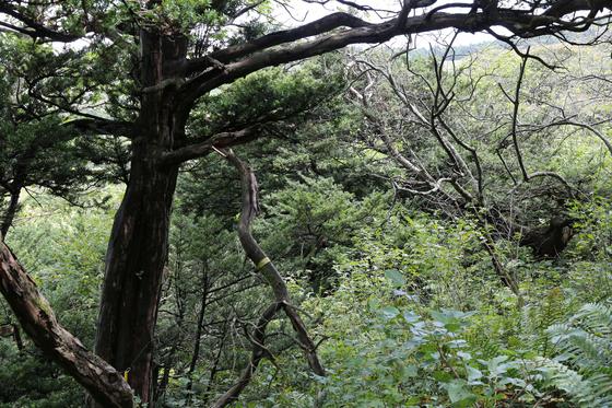 강풍으로 인해 소백산 주목 가지가 부러져 있다. [사진 국립공원관리공단]
