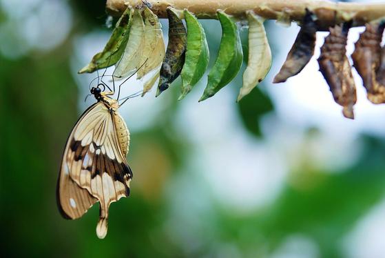 죽음은 무서운 것이 아니다. 그저 다른 세계로의 이동이다. 마치 애벌레가 옷을 벗고 나비로 다시 태어나는 것처럼 지구 상에 살다가 원래 본향으로 돌아가는 것이라는 로스 박사의 주장은 임종 환자에게 큰 위안이 되었다. [사진 pixabay]