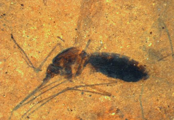 중합효소연쇄반응(PCR)은 DNA의 크기를 수백만 배로 증폭하는 방법으로 쥬라기공원에 소개된 바 있다. 호박 화석 속에 갇힌 모기 내에서 공룡의 혈액을 추출, 이 DNA로 살아있는 공룡을 재현한다는 것이다. [AP=연합뉴스]