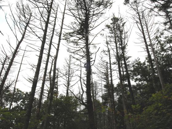 지리산 구상나무 고사목. [사진 녹색연합]