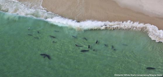 미국 메사추세츠 주의 모노모이 국립 야생생물 보호지구 연안에서 헤엄치고 있는 상어 떼의 모습. 나이가 젊은 상어일 수록 인간 과 접점이 큰 것으로 나타나 연구에 주로 이용된다. 이번 연구에서도 젊은 상어의 몸에 탐지기를 부착해 상어의 주 서식지를 파악, eDNA 샘플을 채취할 수 있었다. [AP=연합뉴스]
