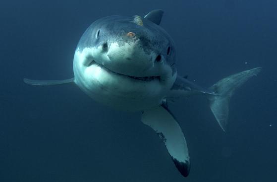 미지질연구소ㆍUC산타바바라 등 4개 기관 공동연구진이 eDNA 분석법을 이용해 상어의 위치를 추적할 수 있는 탐지법을 개발했다고 14일(현지시간) 밝혔다. 해당 논문은 국제학술지 해양과학프론티어에 게재됐다. 사진은 디스커버리채널이 공개한 백상아리의 유영 모습[AP=연합뉴스]
