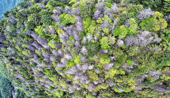 지리산 천왕봉-중봉의 북사면에서 나타난 고산침엽수 떼죽음. [사진 녹색연합]