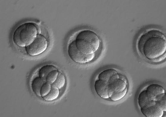 IFI6의 플라비바이러스 면역 기능 규명에는 크리스퍼 유전자 가위 기술이 결정적인 역할을 했다. 연구진은 간 세포 내에 있는 1만9000여개 유전자를 하나 하나 파괴해 가며 그 기능을 규명했다. [AP=연합뉴스]