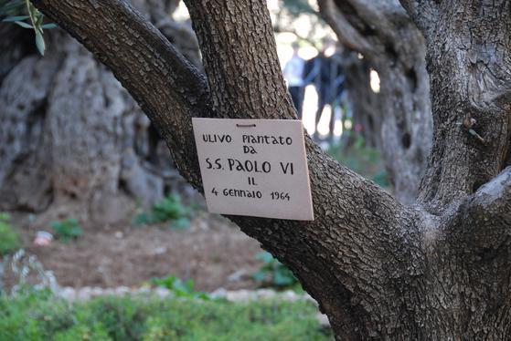 겟세마네 동산에 있는 오래된 올리브 나무. 예수 당시 올리브 나무의 자손이 지금도 서 있다.