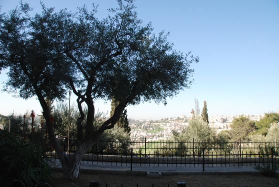 """예수가 """"내 뜻대로 마시고 아버지 뜻대로 하소서""""라고 기도했던 겟세마네 동산의 올리브 나무."""