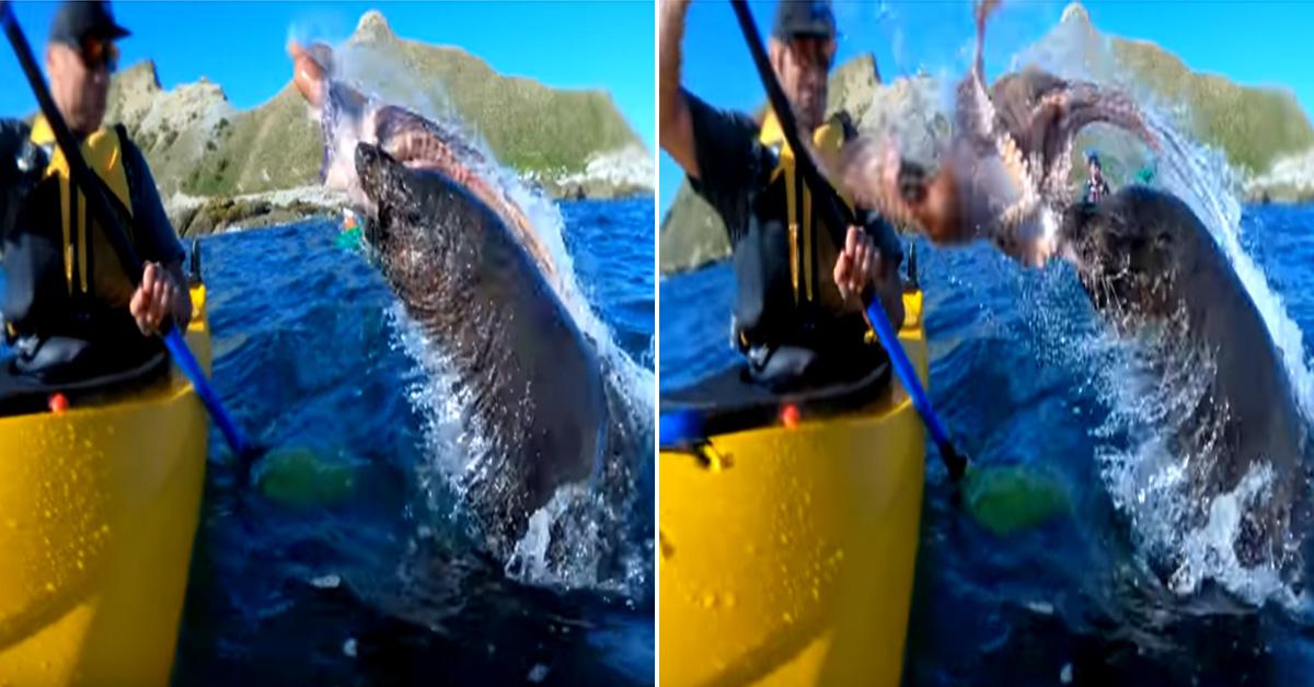 뉴질랜드 바다에서 솟구친 물개가 카약을 타던 한 남성에게 문어를 내동댕이치고는 사라졌다. [유튜브 Taiyo 'T' Masuda 영상 캡처]