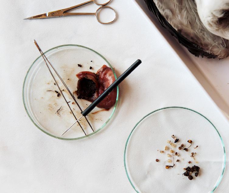 독일의 한 갯벌에서 발견한 죽은 갈매기 뱃속에서 나온 플라스틱 [사진 그린피스]