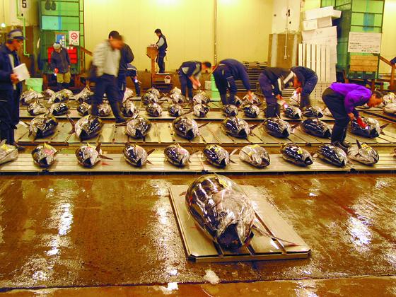 `도쿄의 부엌`이라고 불리는 쓰키지(築地)시장의 참치경매장. [중앙포토]