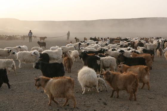 몽골 남부 지역의 유목민들이 모터펌프로 퍼올린 물을 양과 염소에게 주기 위해 호스를 끌어당기고 있다. [오문고비=김경빈 기자]