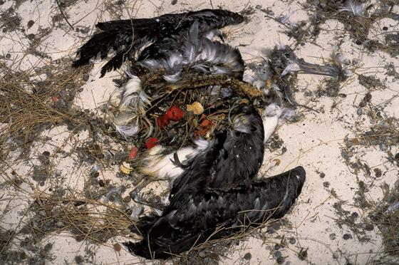 바다에 떠다니는 플라스틱을 먹고 죽은 새. 위장에 플라스틱 병뚜껑 등의 쓰레기가 가득 차 있다. [중앙포토]