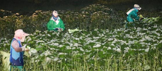 추석을 앞두고 전남 영광 지역 이주여성과 농민들이 새벽 어둠이 깔린 밭 사이를 다니며 모싯잎을 따고 있다. 기존 송편에 모싯잎을 넣은 송편은 한해 280억 원어치가 전국으로 팔려나간다. [프리랜서 장정필]