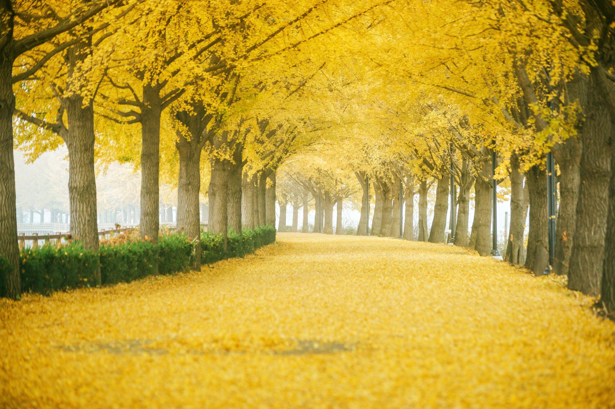 10월은 짙은 가을색으로 물든 자연을 만끽하며 걷기 가장 좋은 때다. 은행나무 350여 그루가 장관을 이룬 충남 아산 은행나무길. [사진 한국관광공사]