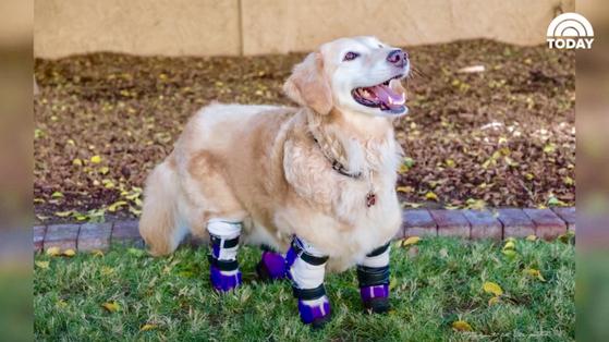 한국에서 비참하게 버려져 네 다리를 잃었던 개 '치치'가 미국에서 인간들에게 용기와 희망을 주는 치료견으로 거듭나며 2018 미국 영웅견 상(Hero Dog Awards)을 받게 됐다. [사진=NBC 투데이쇼 동영상 캡처]