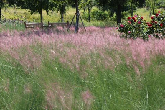 서울시는 다음달까지 잠원한강공원 그라스정원에 핑크뮬리 등 25종의 여러해살이풀을 공개한다. [중앙포토]