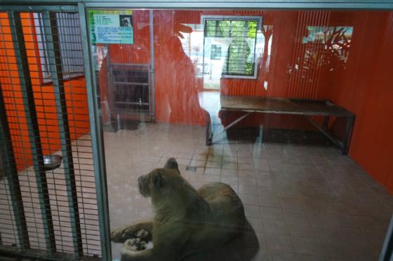 좁은 컨테이너 안에 전시된 체험 동물원의 사자. 타일 바닥도 야생동물에겐 지내기 괴로운 환경이다. [사진 동물복지문제연구소 어웨어]