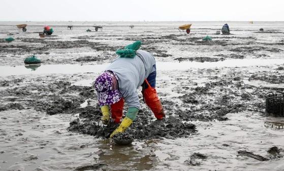 지난 5월 천수만에 접한 충남 태안군 안면읍 황도리 어촌계원들이 갯벌에서 제철을 맞은 바지락을 캐고 있다. [연합뉴스]