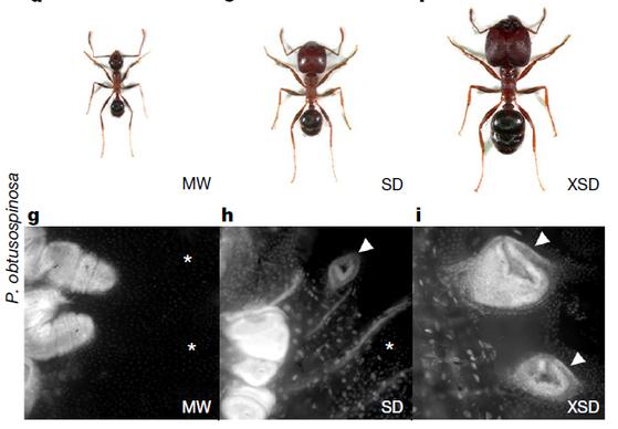 혹개미의 일개미와 병정개미를 비교한 사진. 검은 사진은 일개미와 병정개미의 날개 분화 부위를 촬영한 것이다. 이 부위가 클수록 큰 개체로 성장한다. [자료 네이처]
