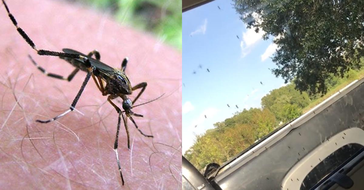 거대 모기 '소로포라 섬모충류'(Psorophora ciliata)(왼쪽)과 미 노스캐롤라이나주 주민 바도브스키가 찍은 거대 모기. 동정크기 만한 모기(오른쪽)[미국 플로리다대 곤충학선충학 홈페이지 캡처=연합뉴스, Cassie Rulene Vadovsky 페이스북 캡처]