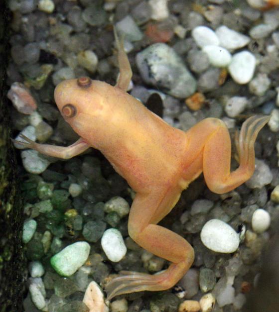 국내 공동연구진이 아프리카 발톱개구리 연구를 통해, 관절염 세포치료제에 쓰일 수 있는 인테그린 베타 라이크 원(ITGBL1) 유전자의 기능을 세계최초로 규명했다. 사진은 2008년 10월 서울대공원에서 진행된 세계 개구리 비교체험행사에서 촬영된 아프리카발톱개구리(Xenopus). [사진 중앙포토]