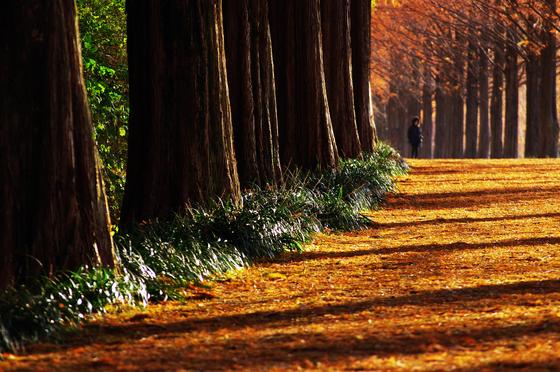 햇볕 비낀 메타세쿼이아길. 나무 밑동 초록색 풀이 싱그럽게 반짝인다. [사진 장태동]