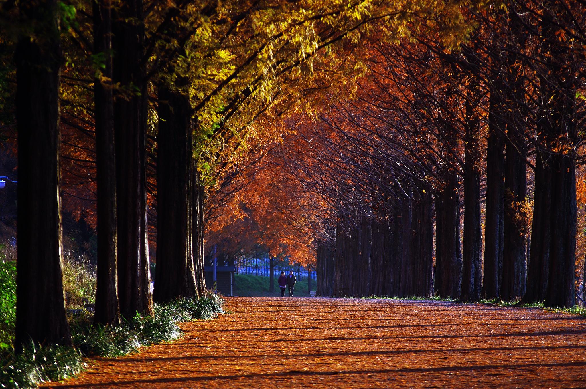 전남 담양 메타세쿼이아길. 2㎞ 남짓한 평평한 길이어서 걷기에 부담이 없다. 이왕이면 무르익은 가을, 해 질 녘 나무줄기 사이로 길게 햇볕이 들어올 때 걷기를 권한다. 붉은 터널을 이룬 나무를 감상하고, 융단처럼 고운 낙엽을 지르밟으면 깊은 평온이 다가온다. [사진 장태동]