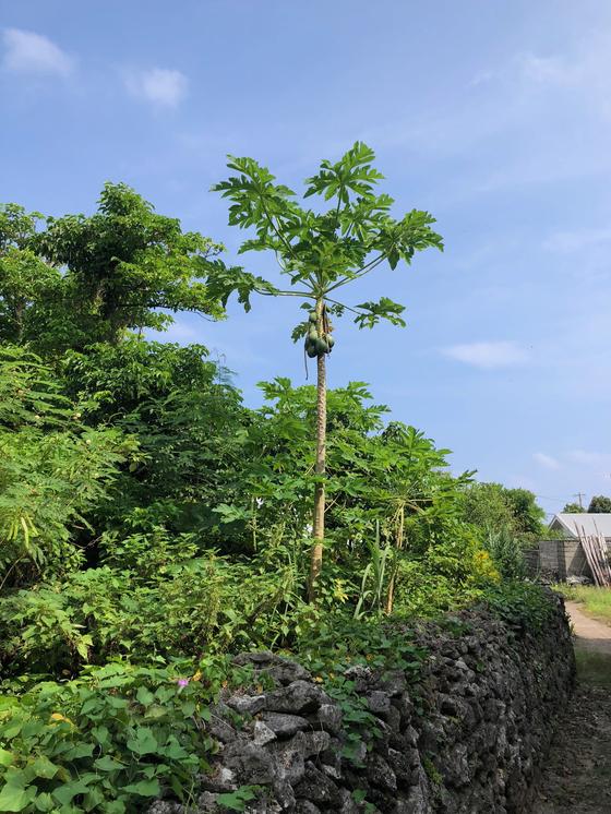 아덴 마을의 한 빈집 터에 파파야 나무가 자라고 있다. 사진=김상진 기자