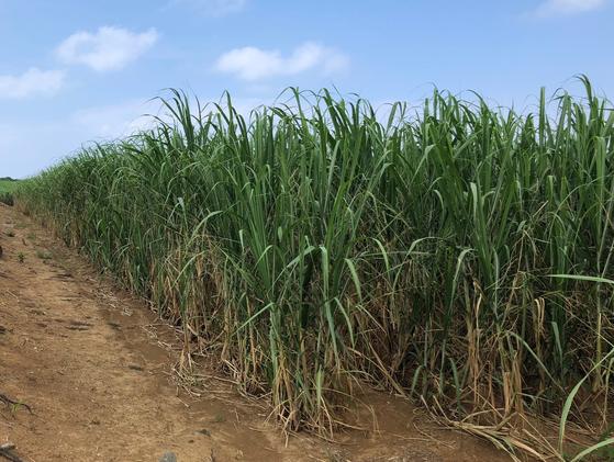 기카이 섬의 사탕수수. 봄에 심은 사탕수수는 1년 뒤 봄에 수확하고, 여름에 심은 사탕수수는 1년 6개월 간 키운 뒤 이듬해 봄에 수확한다. 사진=김상진 기자