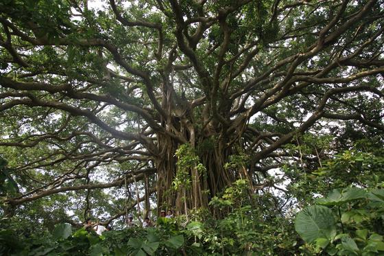 데쿠즈쿠 지역의 거대 용수(榕樹)는 수령 100년이 넘은 것이다. 현지 방언으로 가쥬마루로 불린다. 사진=김상진 기자