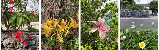 아덴 마을 산호 돌담 주변에 다채로운 꽃들이 피어 있다. 사진=김상진 기자