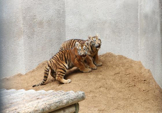 서울대공원은 12일부터 백두산호랑이, 한국호랑이라 불리는 순수혈통의 시베리아 아기 호랑이 4마리를 일반 시민에게 공개한다고 밝혔다. [중앙포토]
