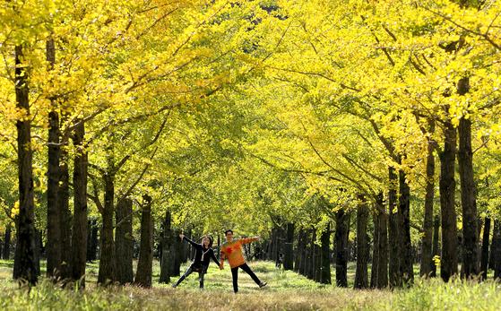 해마다 10월이면 한 달 동안만 일반인에게 개방되는 홍천 은행나무 숲은 한 개인이 30년 동안 가꾼 숲으로 알려져있다. 은행의 고약한 냄새 때문에 매년 도심에서는 많은 민원이 제기되지만, 기침ㆍ가래를 가라앉히고 고혈압에도 효과가 있는 약재로도 쓰일 수 있다. [사진 중앙포토]