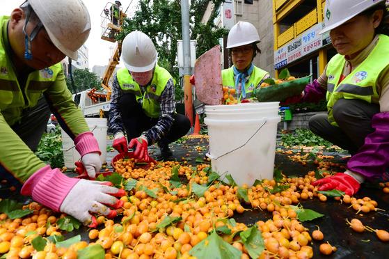 지난해 9월 부산광역시 부산진구청 관계자들이 진동수확기 등을 동원해 은행나무 열매를 수확하고 있다. 부산진구는 지난해 12월 6일까지 관내 은행나무 3383그루 중 열매가 열리는 암나무 855그루(25%)에서 열매를 수확해 지역의 홀몸노인들에게 전달했다. 은행을 수확할 때는 접촉성 피부염에 대비해 장갑을 착용해야 한다. [사진 뉴시스]
