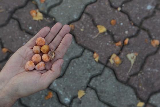 은행은 열매가 아닌 씨앗으로, 암나무에서만 종자가 맺힌다. 서울시에 따르면 암나무는 약 2만 9000그루로 파악되고 있다. 악취의 원인은 겉껍질에 포함된 빌로볼과 은행산 때문으로 알려져 있다. [사진 중앙포토]