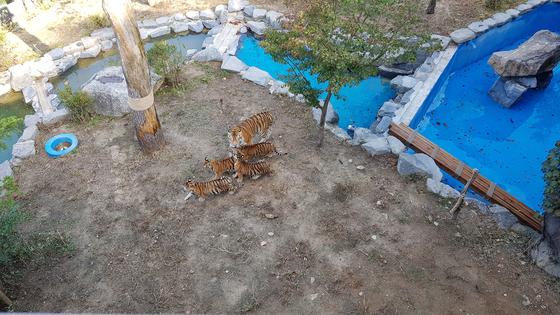 서울대공원은 12일부터 백두산호랑이, 한국호랑이라 불리는 순수혈통의 시베리아 아기 호랑이 4마리를 일반 시민에게 공개한다고 밝혔다.[중앙포토]