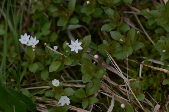기생꽃. 영어 이름은 '아크틱 스타플라워(Arctic Starflower)', 즉 북극의 별꽃이란 뜻이다. [국립생물자원관]